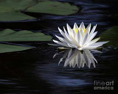 White Water Lily Poster by Sabrina L Ryan