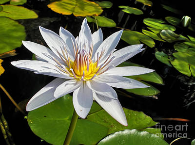 White Waterlily And Lily Pads By Kaye Menner Poster by Kaye Menner
