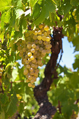 White Wine Grapes  Poster by Ulrich Schade