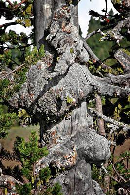 Whitebark Pine Tree - Iconic Endangered Keystone Species Poster by Christine Till
