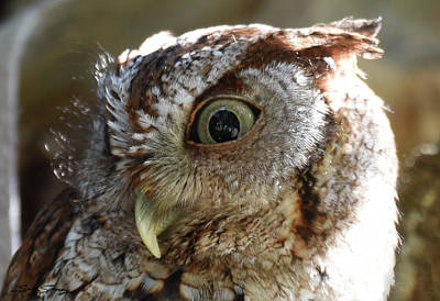 Wide Eyed Screech Owl Poster by Sally Sperry