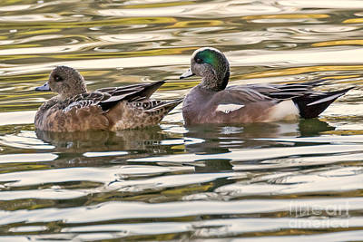 Wigeon Couple Poster by Kate Brown