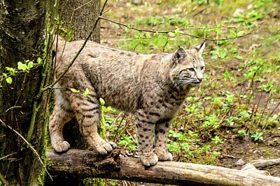 Wild Bobcat Poster by Teri Virbickis