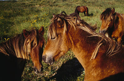 Wild Horses On Sable Island Poster by Justin Guariglia