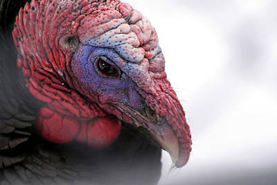 Wild Turkey Head Portrait Poster by Laurie With