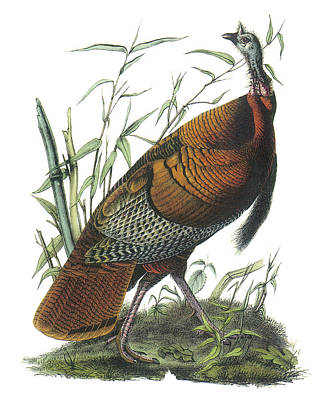 Wild Turkey Poster by John James Audubon
