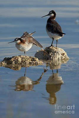 Wildons Phalaropes Poster by Marie Read