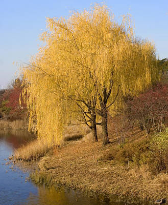 Willow Trees By The Lake Poster by Elvira Butler