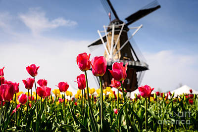 Windmill Island Tulip Gardens Poster by Patrick Shupert