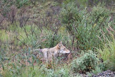 Wolf Stalking Bird Poster by David Wilkinson