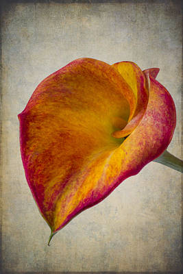Wonderful Calla Lily Softly Poster by Garry Gay