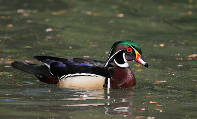 Wood Duck Drake Poster by Andrew Johnson