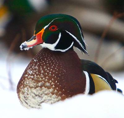 Wood Duck Poster by Robert Pearson