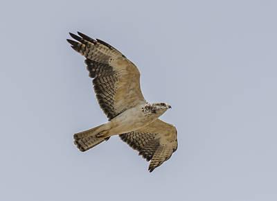 Wyoming Swainsons Hawk Poster by Loree Johnson