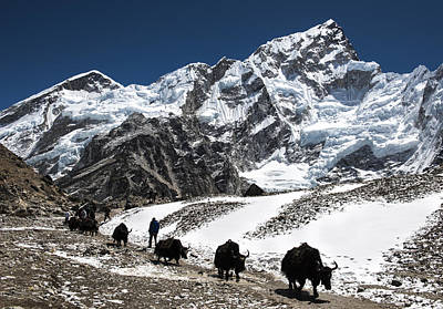 Yaks In The Himalayas Poster by Laura Szanto