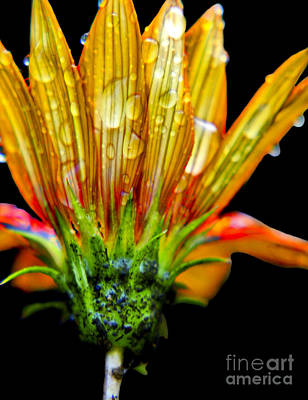 Yellow And Orange Wet Zinnias. Poster by Elizabeth Greene