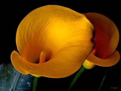 Yellow Calla Lilies - 02 Poster by Tony Grider