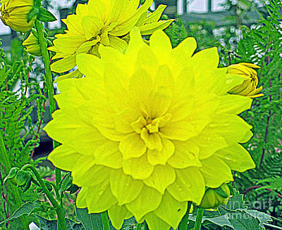 Yellow Dahlia Poster by Kay Novy