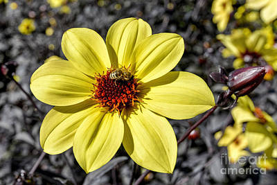Yellow Dahlia Poster by Keith Ducker