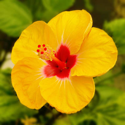 Yellow Hibiscus Poster by Mike McGlothlen