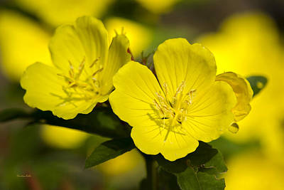Yellow Flowers - Evening Primrose Poster by Christina Rollo