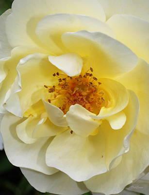 Yellow Rose Poster by Deborah  Crew-Johnson