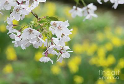 Yoshino Cherry Tree Blossom Poster by Tim Gainey