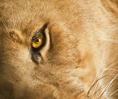 Your Lion Eye Poster by Carolyn Marshall