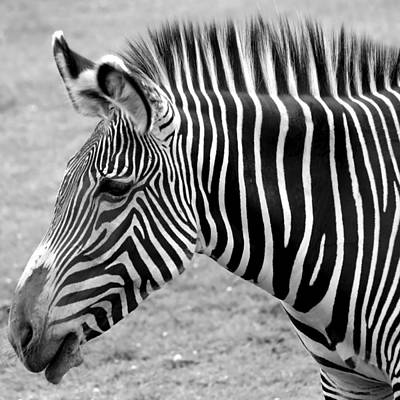 Zebra - Here It Is In Black And White Poster by Gordon Dean II