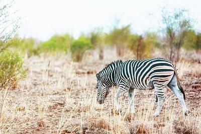 Zebra In Savanna Of South Africa Poster by Susan Schmitz