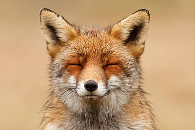 Zen Fox Red Fox Portrait Poster by Roeselien Raimond