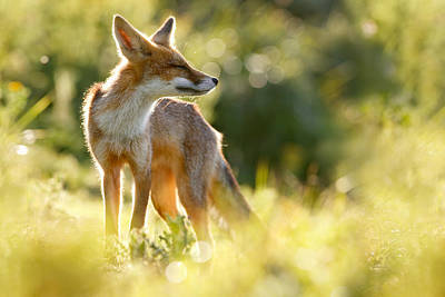Zen Fox Series - Happy Fox Is Happy Poster by Roeselien Raimond