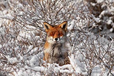 Zen Fox Series - Zen Fox In The Snow Poster by Roeselien Raimond