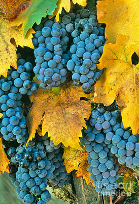 Zinfandel Grapes Poster by Inga Spence