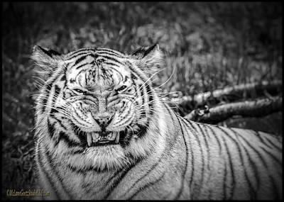 Cat Photograph -  Amur Tiger Black And White by LeeAnn McLaneGoetz McLaneGoetzStudioLLCcom
