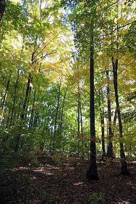 Canadian Wild Tall Trees Fall Season Nature Natural Beautiful Pleasing Scenes       Print by Navin Joshi