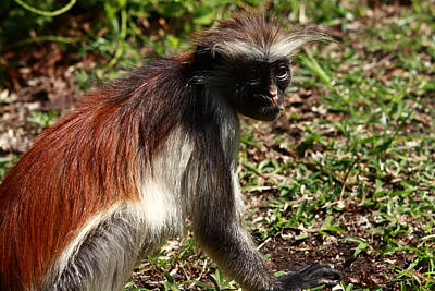 Colobus Monkey Print by Aidan Moran