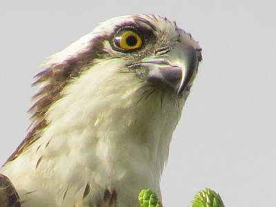 Fish Photograph -  Eye Of The Osprey by Zina Stromberg
