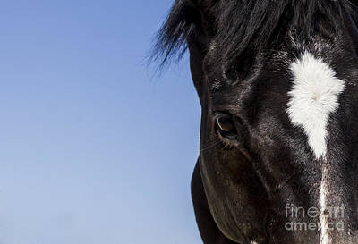 Horse Portrait Photograph -  Horse - Dark Bay II by Holly Martin