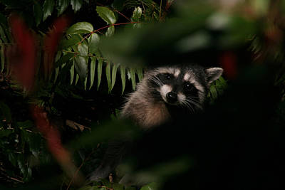 I Can See You  Mr. Raccoon Print by Kym Backland