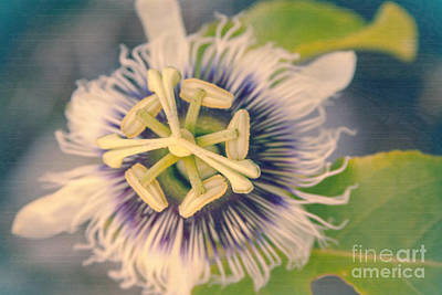 Passiflora Photograph -  L'innocence Dans Les Jardins by Sharon Mau