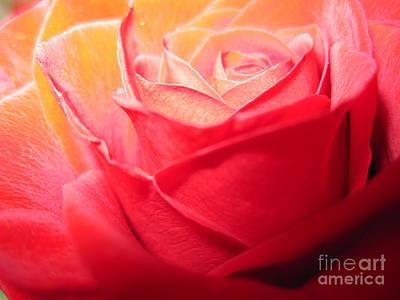 Luminous Drawing -  Luminous Pink Rose 2 by Tara  Shalton
