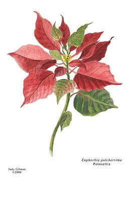 English Gouache Painting -  Poinsettia by Judy Gilman