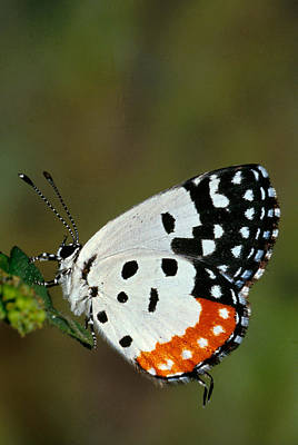 Red Pierrot Butterfly Print by Anonymous