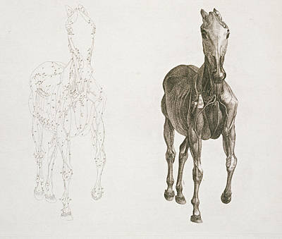 Tab Viii From The Anatomy Of The Horse Print by George Stubbs
