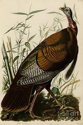 Wild Turkey Drawing -  Wild Turkey by Celestial Images