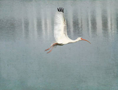 Ibis Digital Art -  Winging Ibis  by Kandy Hurley