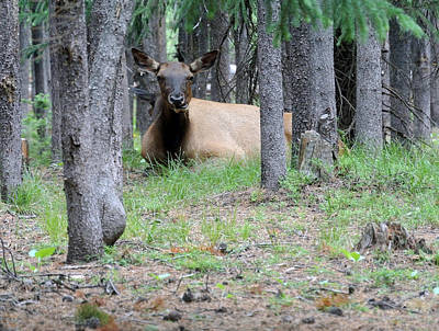 Elk Or Wapiti Photograph -  Yellowstone Park Elk  by Larry Stolle