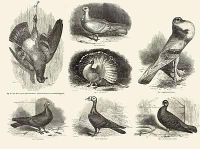 Pigeon Photograph - 1868 Darwin Pigeon Breeds Illustration by Paul D Stewart