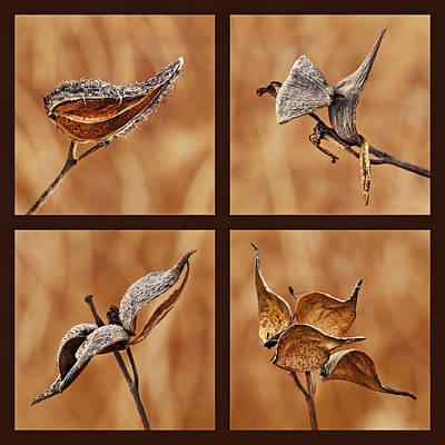 1 - 2 - 3 - 4 - Milkweed Pod Quadriptych Print by Nikolyn McDonald